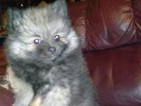 I have some of the cutest Sable Wolfe Pomeranian new