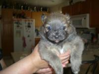 BEAUTIFUL POMERANIAN PUPPIES,PURE BREED,ONE MALE AND