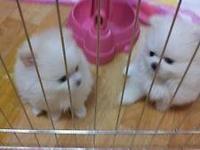 I have 3 beautiful Pomeranian female puppies left (boy