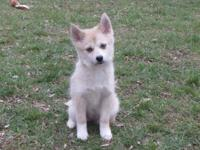 Beautiful Pomsky girl left. She is very playful and