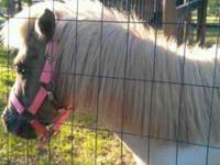 very gental gray and white stud pony 10 hands tall, 4
