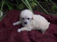 Lovely plaything cream female young puppies. Dads and