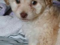 I have an adorable female poodle puppy. She has her