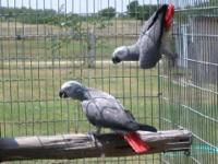 Young adult proven pair of African Greys for sale.