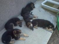 We have 3 male and 2 female young puppies that prepare