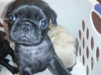 Beautiful Pug Puppies. Four males 2 black 2 fawn and 1