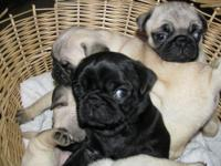 We have  pug  pups that will be ready now. All are