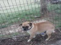 Beautiful Pugs needs a good home. I Female 1 1/2 years