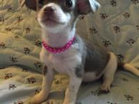 Beautiful Jack-chi puppies. 1 blue and white female and