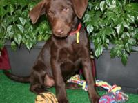 Purebred AKC Labrador Retriever Puppies born on 8/1/15.