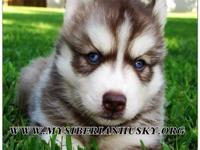 PAYMENT PLANS AVAILABLE!! (www.mysiberianhusky.org)