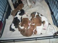 Gorgeous pure bred American bulldog puppies!! They are