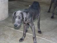 Very Beautiful Great Dane Female puppies for sale. Blue