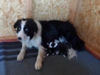 We have 5 male Perimeter Collie puppies offered. The