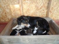 We have Border Collie puppies available currently. We