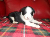 We have only have one more beautiful Border Collie