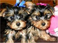 Small, cute and healthy  teacup yorkie puppies. Very