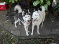 Pure breed Siberian Husky for sale.Parents are