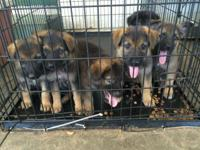 Lovely Pure Breed CKC registered German Shepherd young