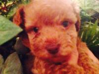 Beautiful AKC REGISTERED, purebred toy poodle puppies ,