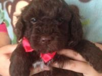 Beautiful AKC REGISTERED, purebred toy poodle male