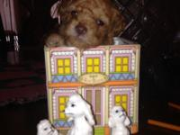 Beautiful, AKC registered, purebred toy poodle puppies,