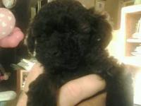 Beautiful Toy Poodle Puppies Are Ready For Their New