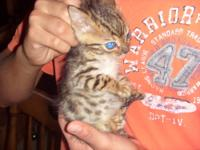 Bengal kittens born 5/25/2012. Three males. One is a