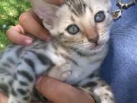 I have a litter of 6 beautiful Bengal kittens that were