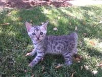 I have a Beautiful silver male Bengal kitten born on