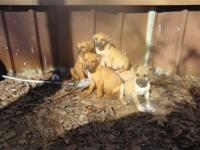 Purebred Black Mouth Cur Puppies. Males and Females