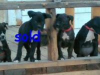 We have a beautiful litter of registered sealed brindle