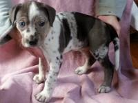 We have a litter of 10 purebred Catahoula puppies.
