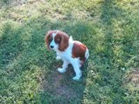 Beautiful 11 month old purebred female Cavalier King
