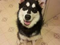 9 month old, 60 pound, purebred, black and white with a