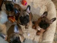 Gorgeous eight week old purebred French bulldogs. Well
