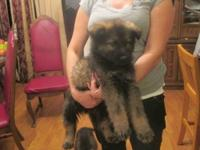 Beautiful Pure bred German Shepherd puppies born