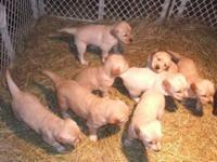Stunning Purebred Farm-Raised Golden Retriever Puppies.