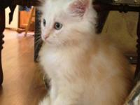 BEAUTIFUL FEMALE MAINE COON KITTEN FOR SALE.