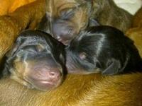 Beautiful Min Pin Pups. Born September 12th. I have 5