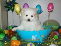 Beautiful purebred Pomeranian puppies, almost 6 wks old