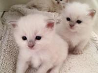 Beautiful purebred Ragdoll kittens in need of new