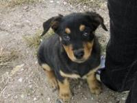 I have a beautiful 3 month old Rottweiler young puppy I