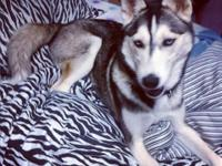 Rhya is a lady, purebred Siberian husky,. 1.5 years