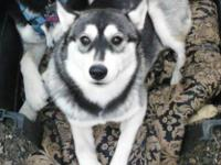 Storm is a beautiful female purebred siberian husky.