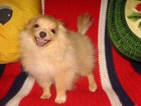 Purebred Teacup Size Pomeranian (Pom Pom) Pup!!! * 14