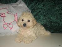 Purebred Toy Poodle Male Puppy 10 Weeks Old, CKC