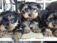 3 adorable purebred Yorkshire Terrier puppies are