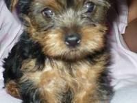Beautiful Yorkshire Terriers born June 14, 2012. Two