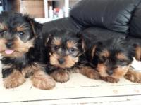 3 adorable Yorkshire Terrier puppies are looking for
